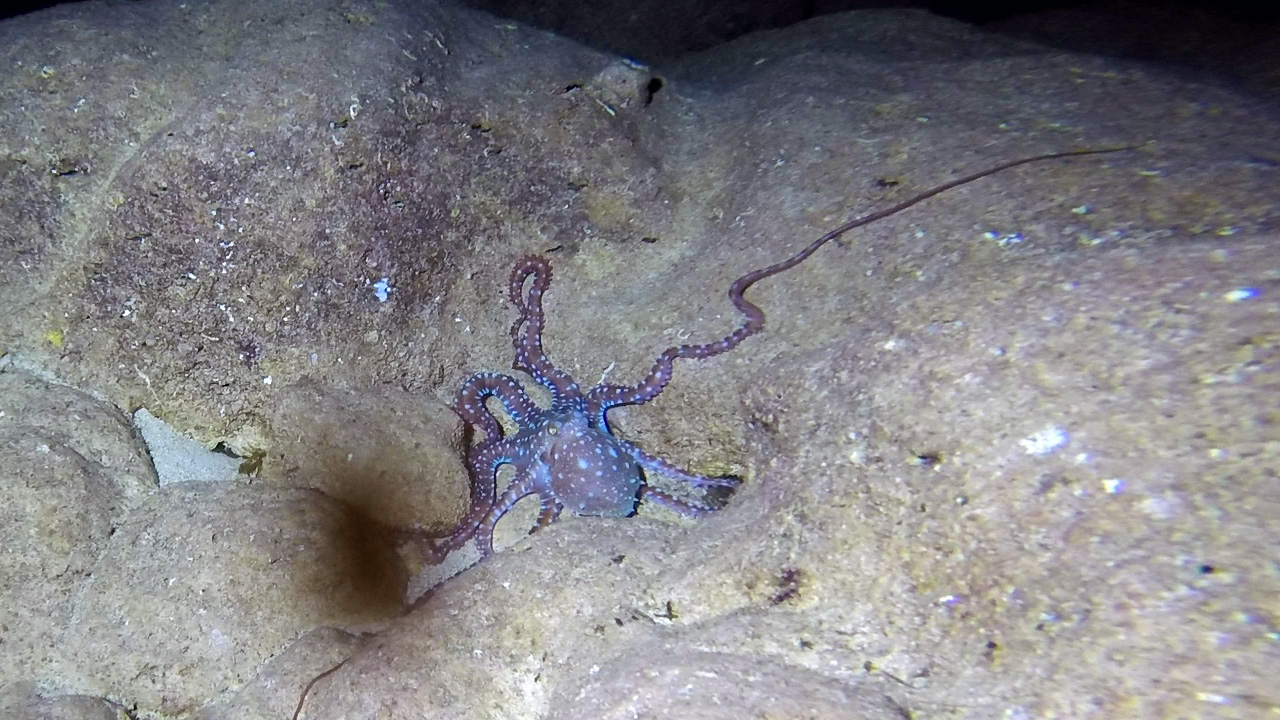 Octopus in Anchor Bay cave