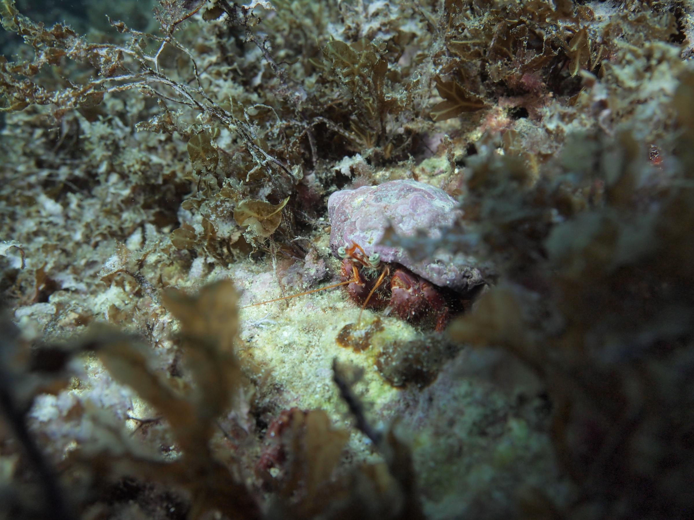 Hermit crab at Anchor Bay