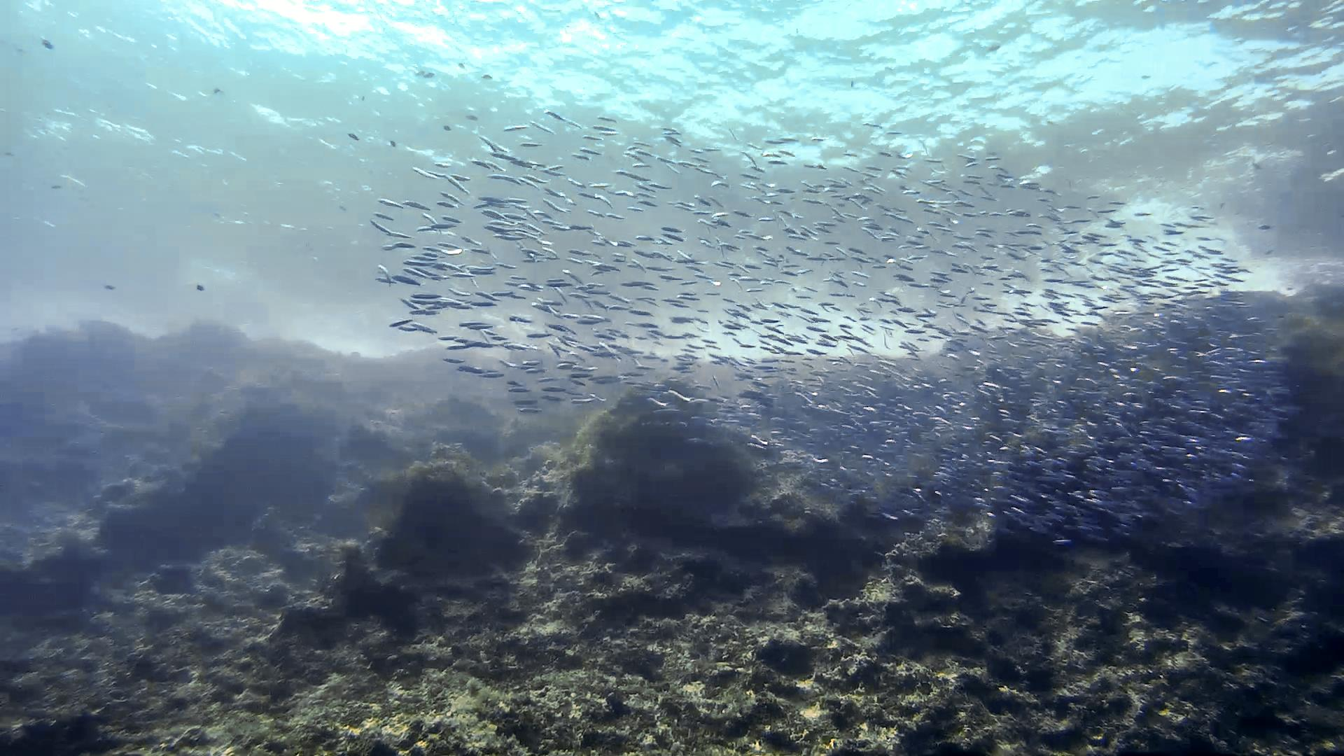 Large shoal of fish