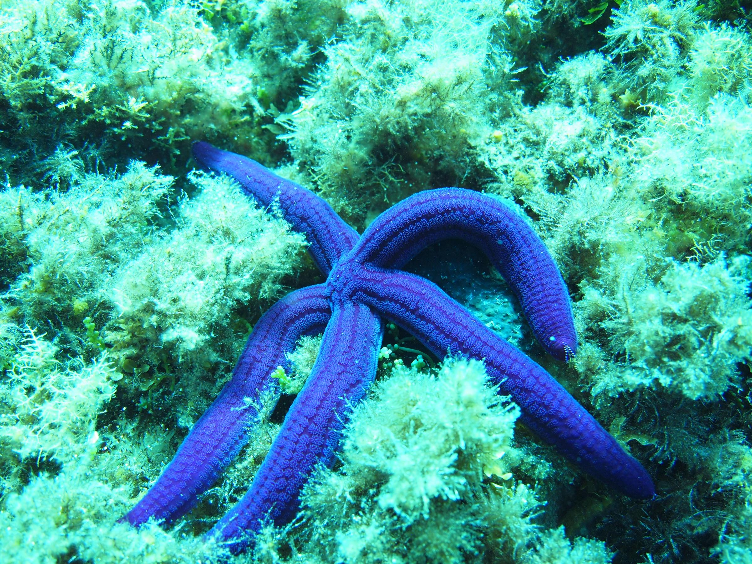 Blue sea star [Toni Saloranta]